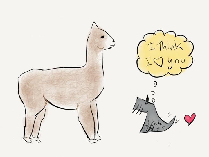 Jack meets an alpaca