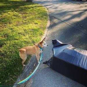 Dog looking at trash bag