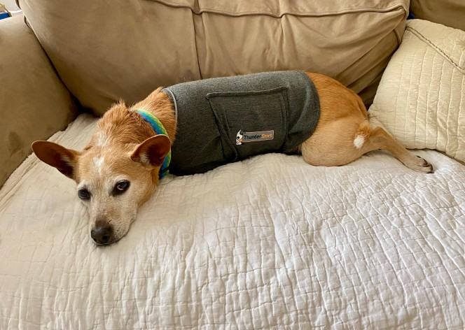 dog wearing thunder shirt